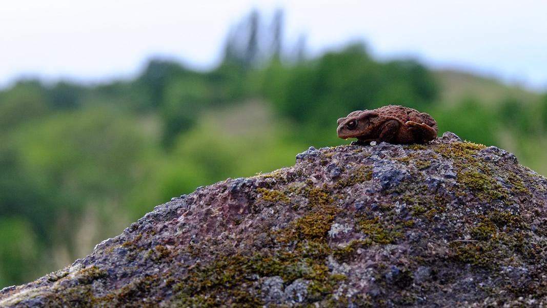 Eine Kröte in den Klausbergen . Im Hintergrund der Ochsenberg