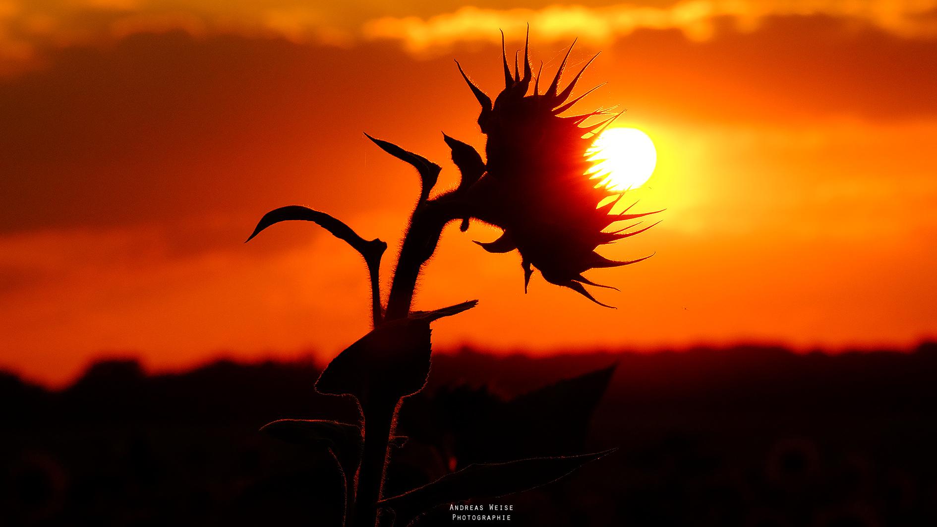 31.07.2014 , Sonnenblume,Untergang