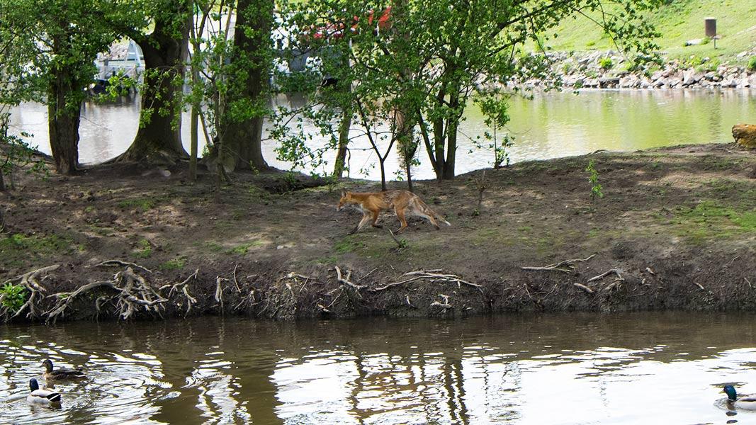 Fuchs im Nutriaschutzgebiet