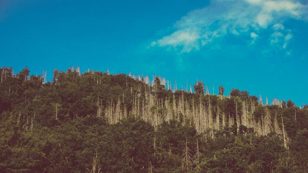 toter Wald oberhalb von Ilsenburg